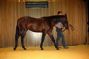 Arqana Deauville Bought for Mayfair Speculateurs by the Agent Peter Doyle for 1.100.000 euros August 17th 2014.