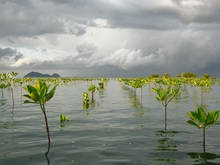 """Ocean and Climate World Oceans Day 2015 Celebration 8 June 2015, UNESCO Headquarters, Paris, France CC Colin & Sarah Northway (Flickr). Stormy skies over planted mangroves, Thailand. In honour of the United Nations World Oceans Day, celebrated each year on 8 June, the Intergovernmental Oceanographic Commission of UNESCO (IOC-UNESCO) will organize a full day dedicated to the ocean and its link to the climate system. This event will lead up to the 2015 Paris Climate Conference (COP21). The day will be opened by Irina Bokova, Director-General of UNESCO, H.E. Laurent Fabius, French Minister of Foreign Affairs, and Lisa Emelia Svensson, Swedish Ambassador for the Oceans, Seas and Freshwater. With the help of scientific workshops, plenary sessions, and exhibitions, this day will bring together scientists, political decision-makers, civil society and youth to identify, through dialogue, promising ocean-sensitive actions and strategies to mitigate climate change and its socioeconomic impacts. At the end of the day, recommendations and a call for action will be presented to the heads of state and eminent personalities present on this occasion, including His Serene Highness Prince Albert II of Monaco; high representatives of small island states, namely H.E. Tommy E. Remengesau, President of Palau; H.E. Danny Faure, Vice-President of the Seychelles; and H.E. Freundel Stuart, Prime Minister of Barbados; as well as H.E. Karmenu Vella, European Commissioner for Environment, Maritime affairs and Fisheries. The messages will underline the ocean's essential role for the survival of our planet and how crucial an """"ambitious"""" climate agreement is to ensure ocean health, so that it may play its key role in the global climate system while providing potential solutions for climate change mitigation and adaptation. Key recommendations from World Oceans Day will be transmitted to the negotiating parties, experts and observers attending the Bonn Climate Change Conference in June, in preparat"""